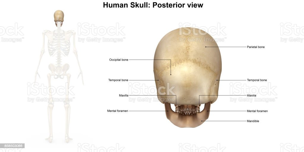 Human Skull Posterior View Stock Photo More Pictures Of Anatomy