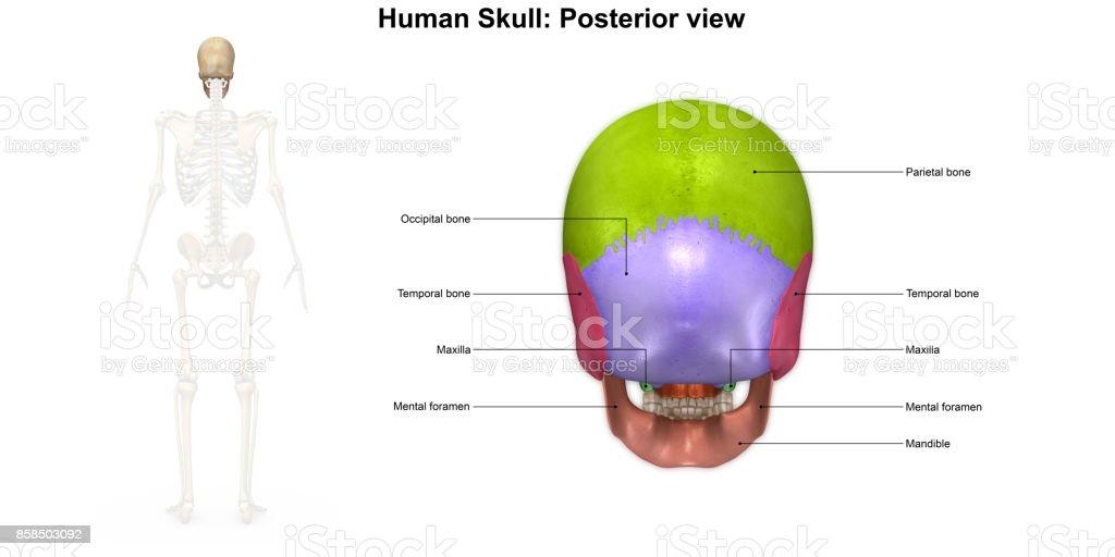 Fotografía de Vista Posterior De Cráneo Humano y más banco de ...