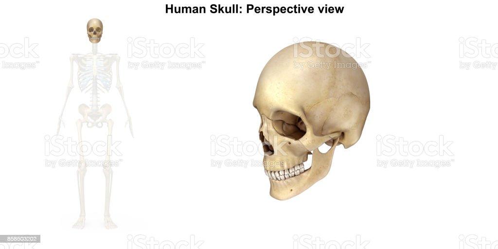 Fotografía de Cráneo Humano Vista Posterior y más banco de imágenes ...