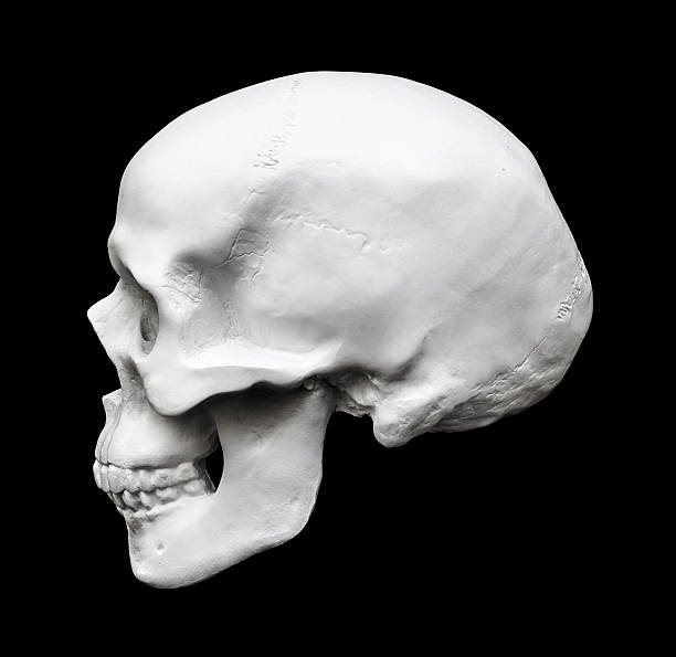 Royalty free human skull profile pictures images and stock photos human skull side view isolated on black stock photo ccuart Images