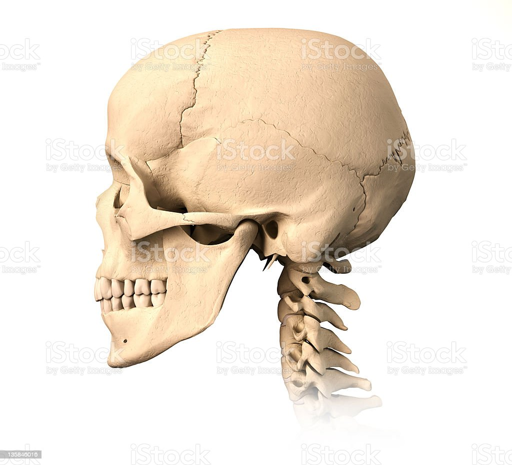 Human Skull Side View Stock Photo More Pictures Of Anatomy Istock