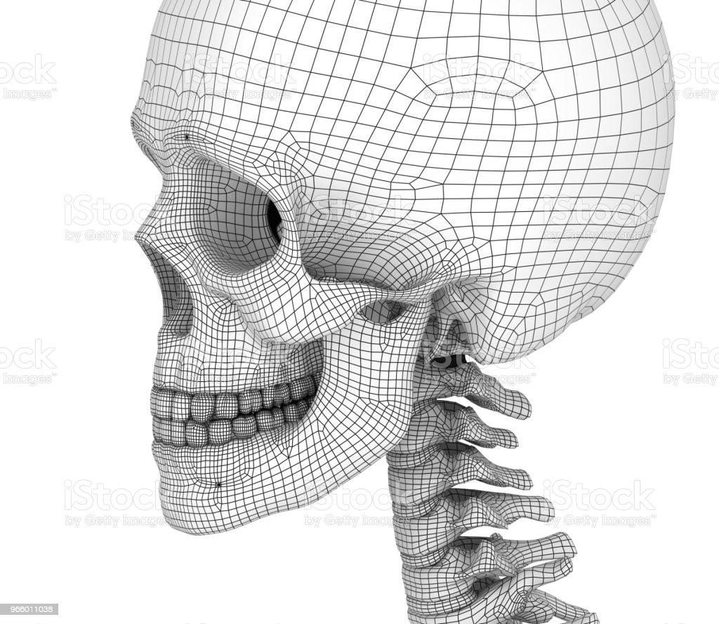 Mänsklig skalle skelett, isolerade. Medicinskt korrekt 3d illustration. - Royaltyfri Anatomi Bildbanksbilder