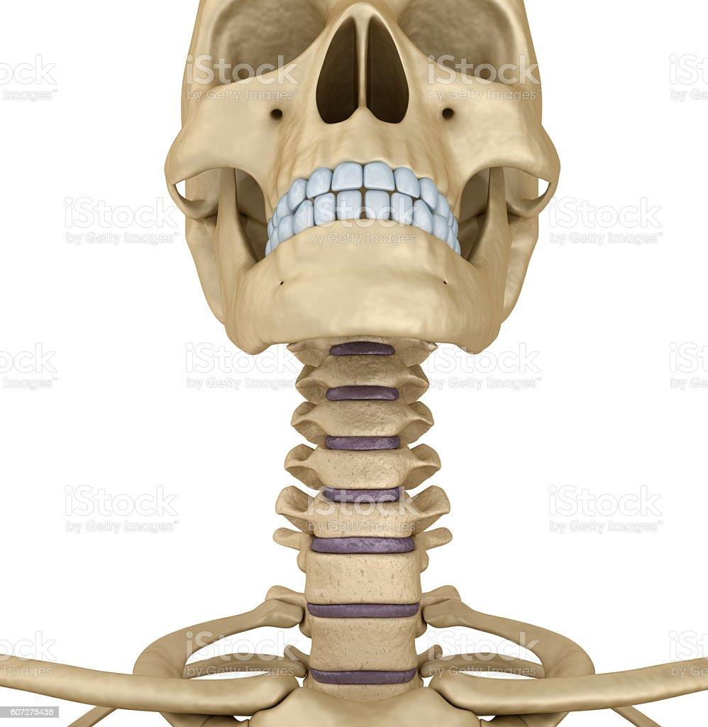 Menschlicher Schädel Skelett Hals Isoliert Medizinisch Genaue ...
