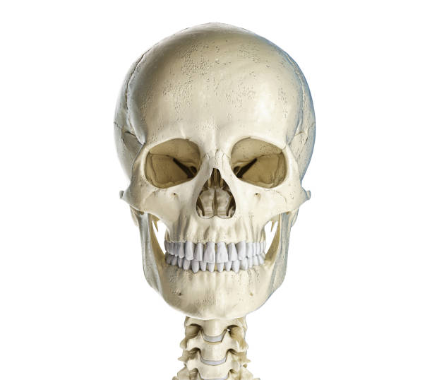 Human skull viewed from the front. Human skull  viewed from the front. On white background. human skull stock pictures, royalty-free photos & images