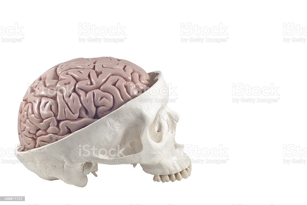 Human skull with brain model,isolated royalty-free stock photo