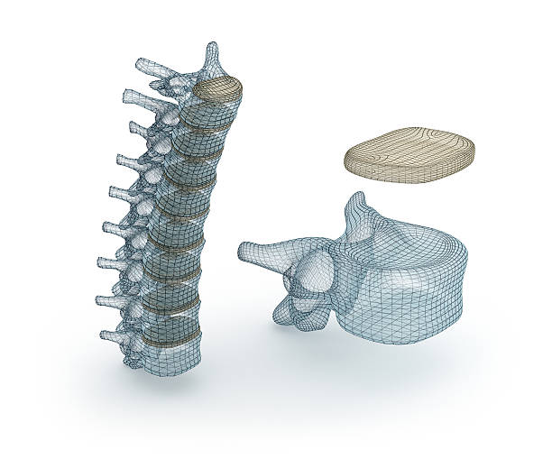 Human Spinal cord wire model, 3d illustration Human Spinal cord wire model, 3d illustration cervical vertebrae stock pictures, royalty-free photos & images