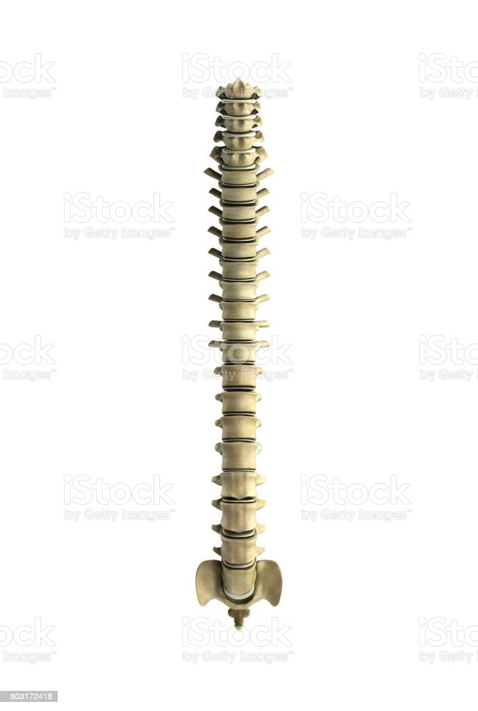 human spine 3d render on white  background stock photo