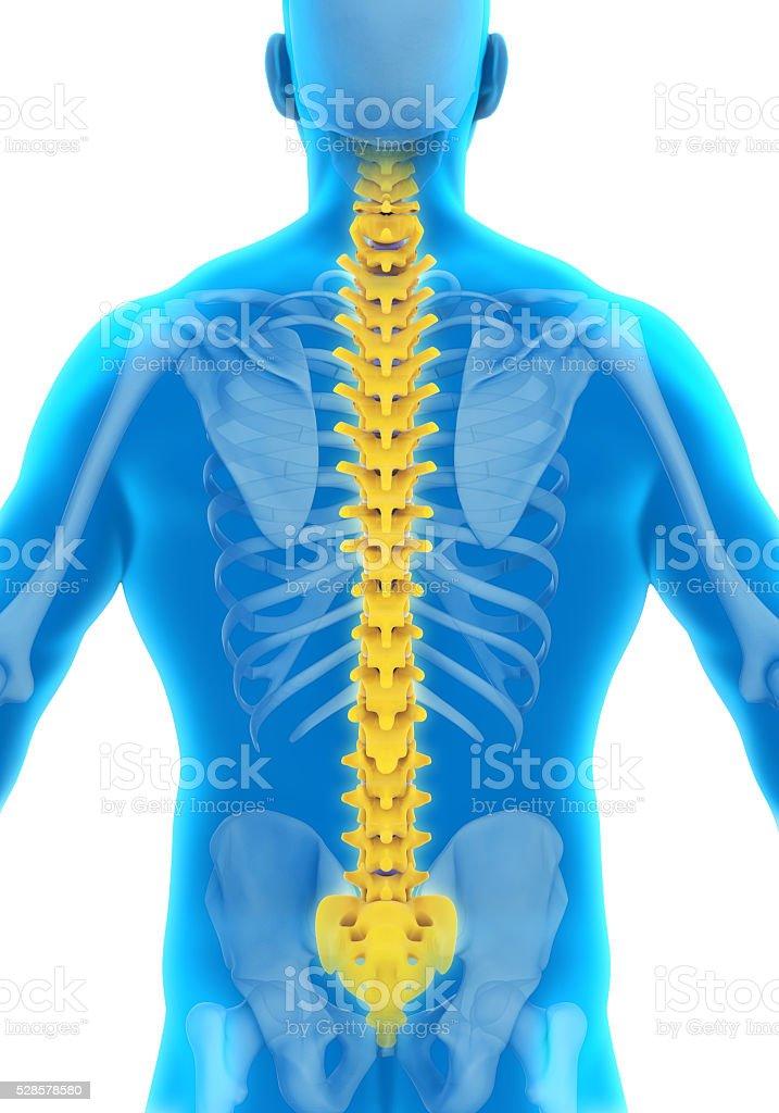 Menschliche Wirbelsäule Anatomie Stockfoto 528578580   iStock