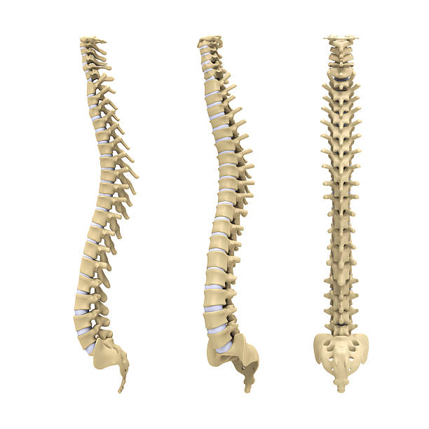 Human Spine Anatomy Human Spine Anatomy isolated on white background. 3D render human vertebra stock pictures, royalty-free photos & images