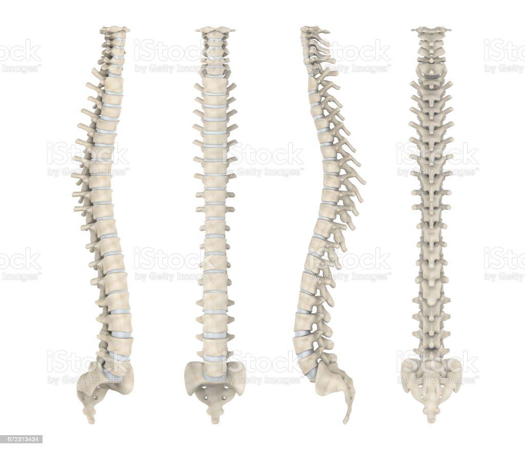 Fotografía de Columna Vertebral Humana Anatomía y más banco de ...