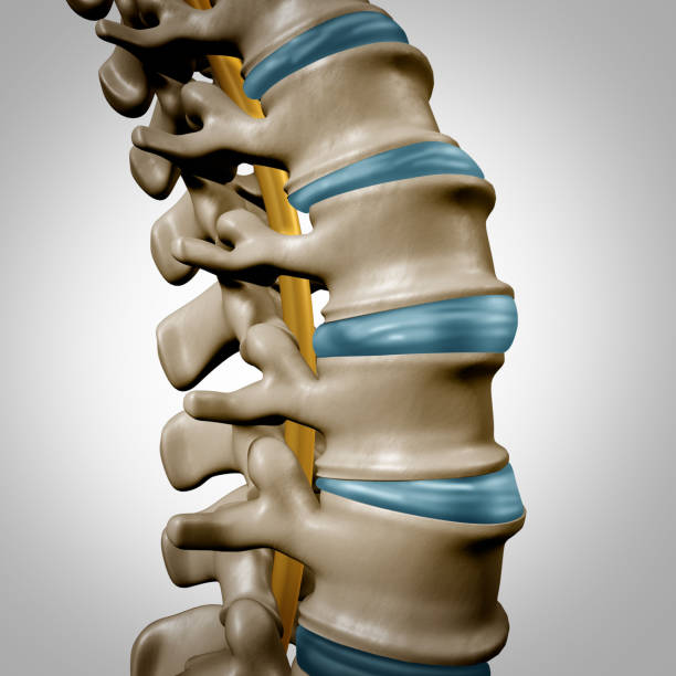 Human Spine Anatomy Section Human spine anatomy section and spinal concept as medical health care body symbol with the skeletal bone structure and intervertebral discs closeup as a 3D illustration. human vertebra stock pictures, royalty-free photos & images