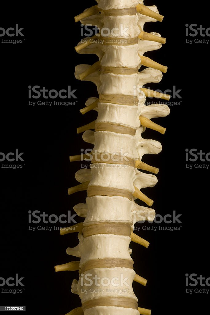 Human Spine, Medicine,Chiropractic, Orthopedic, Medical Model, Heathcare, Isolated royalty-free stock photo