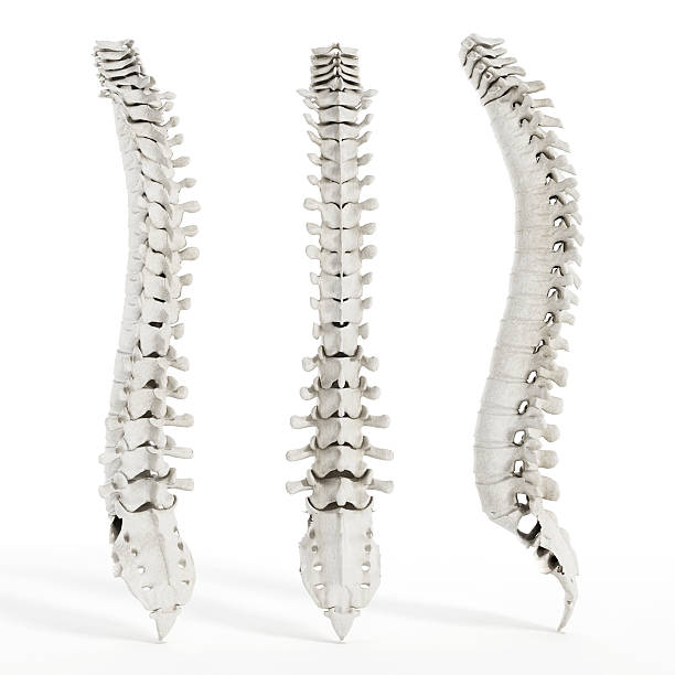 Human spine Human spine diagonal, front and side views isolated on white. sacrum stock pictures, royalty-free photos & images
