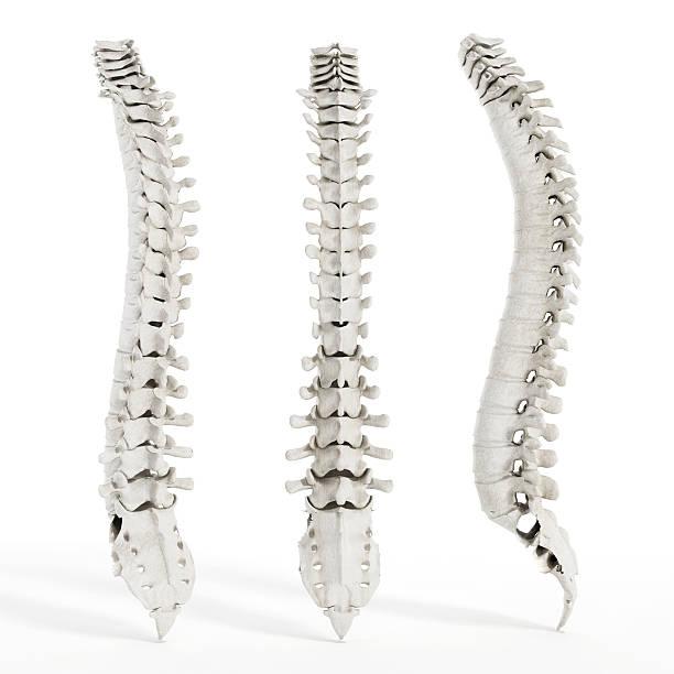 Columna vertebral humana - foto de stock