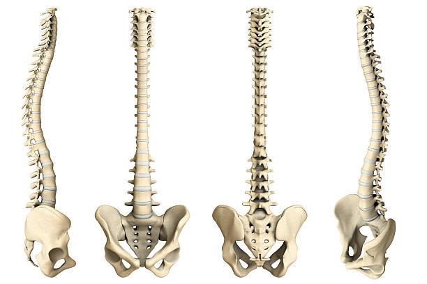 Human spine-4 views Digital medical illustration: Human spine featuring vertebrae (cervical (C1-C7), thoracic (T1-T12) and lumbar (L1-L5)) vertebrae, discs and pelvis.  sacrum stock pictures, royalty-free photos & images