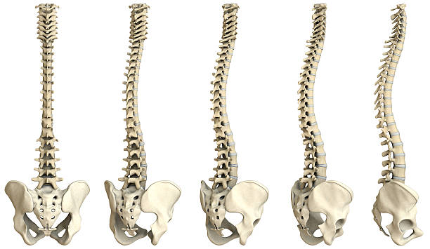 Human spine-5 views XXXL Digital medical illustration: Human spine featuring vertebrae (cervical (C1-C7), thoracic (T1-T12) and lumbar (L1-L5)) vertebrae, discs and pelvis.  spine body part stock pictures, royalty-free photos & images
