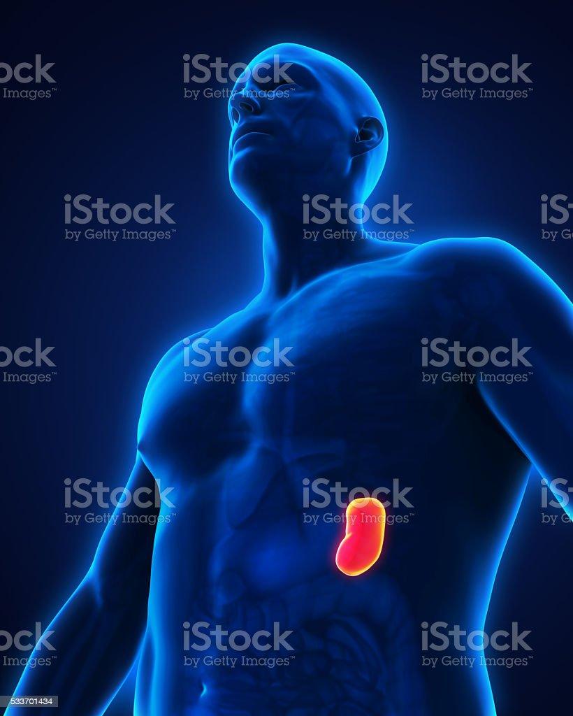 Human Spleen Anatomy Stock Photo More Pictures Of Anatomy Istock