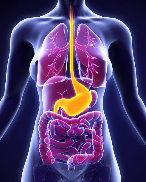 human stomach anatomy - esophagus stock photos and pictures