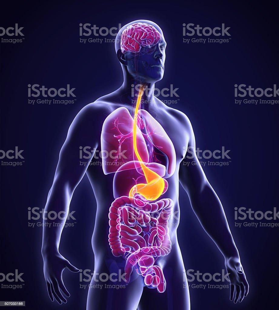 Estómago Humano Anatomía - Stock Foto e Imagen de Stock | iStock