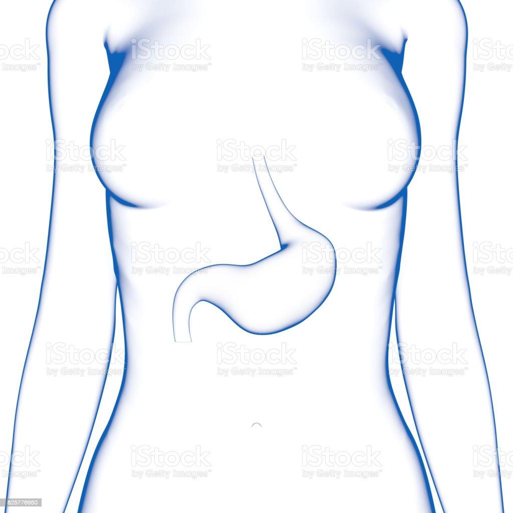 Human Stomach, Female stock photo