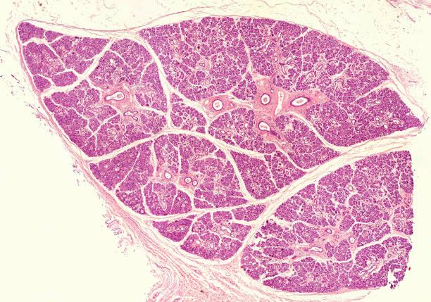Human submandibular gland stock photo