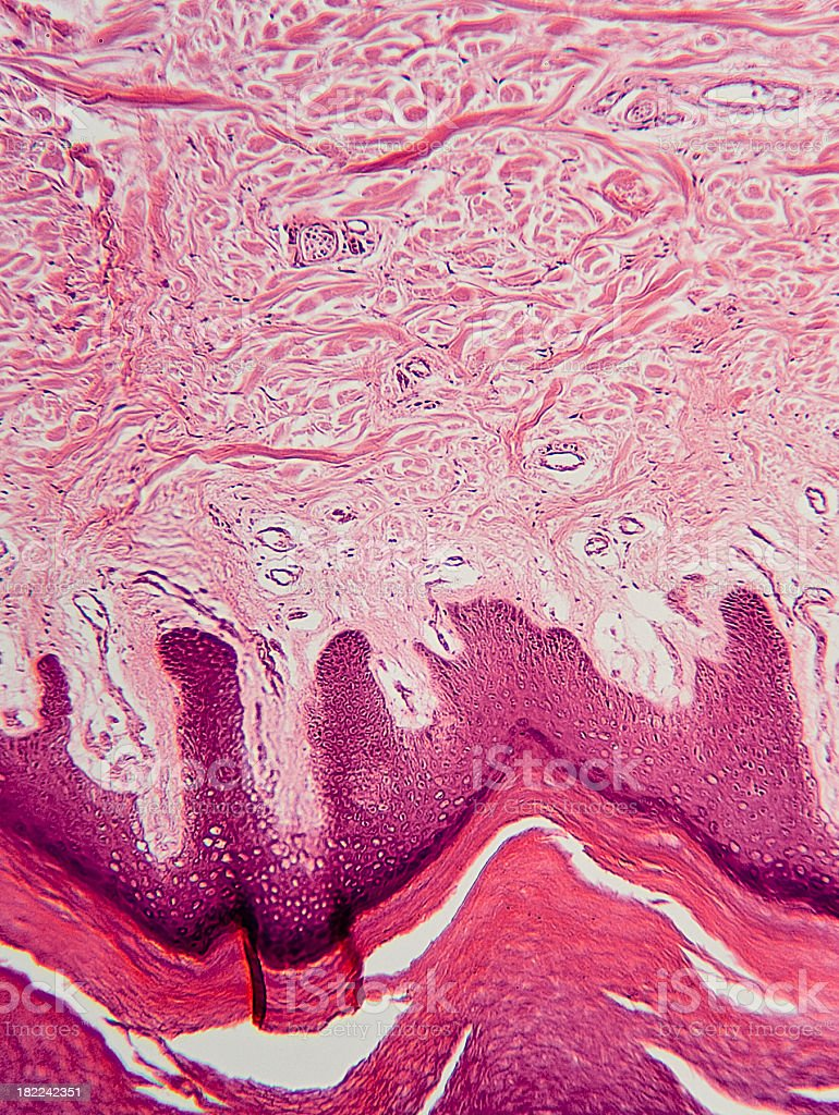 Human sweat gland royalty-free stock photo