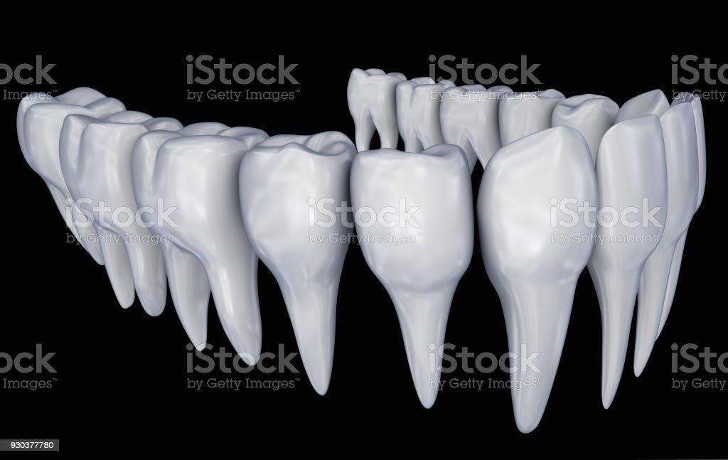 Menschliche Zähne 3d Instalation Medizinisch Genaue Zahnmedizin ...