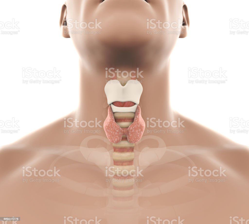 Human Thyroid Gland Anatomy Illustration Stock Photo & More Pictures ...