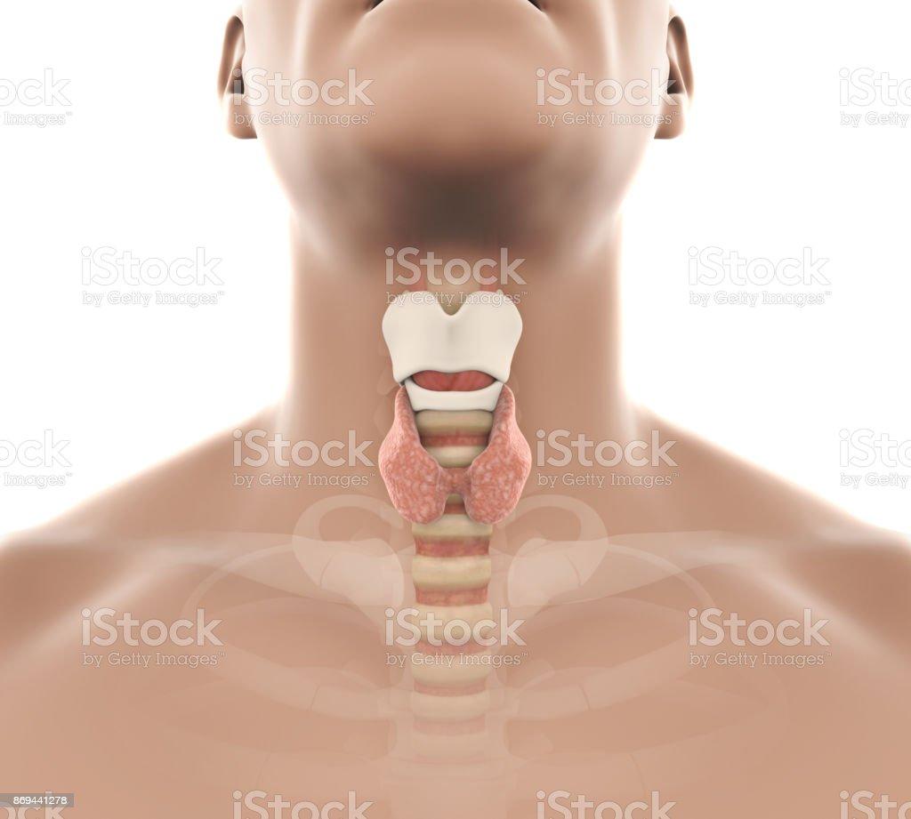 Fotografía de Ilustración De Anatomía Humana De La Glándula Tiroides ...