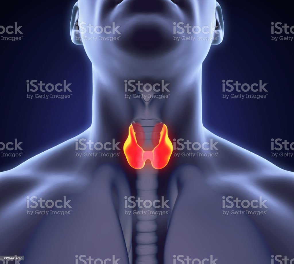 Human Thyroid Gland Anatomy Illustration Stock Photo More Pictures