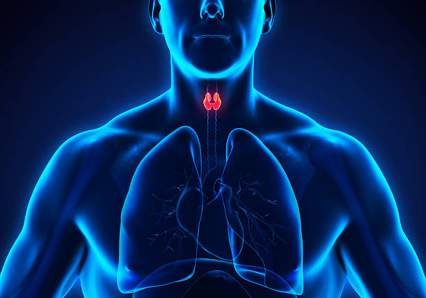 Human Thyroid Gland Human Thyroid Gland Illustration. 3D render endocrine system stock pictures, royalty-free photos & images
