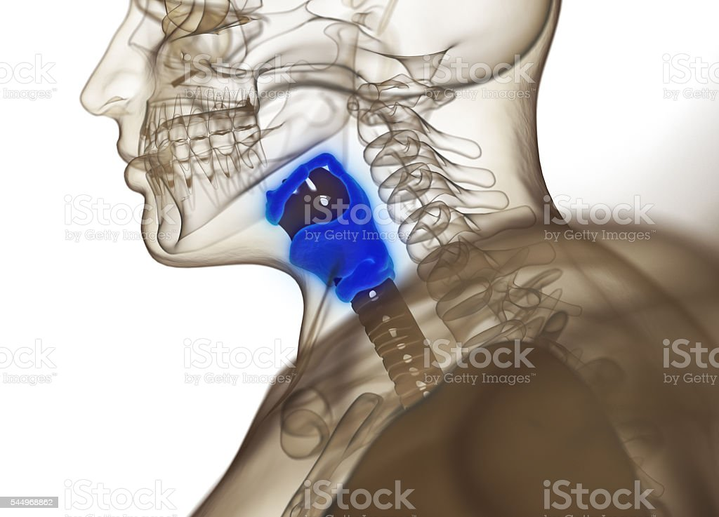 Human thyroid gland. Xray image. 3D illustration. stock photo