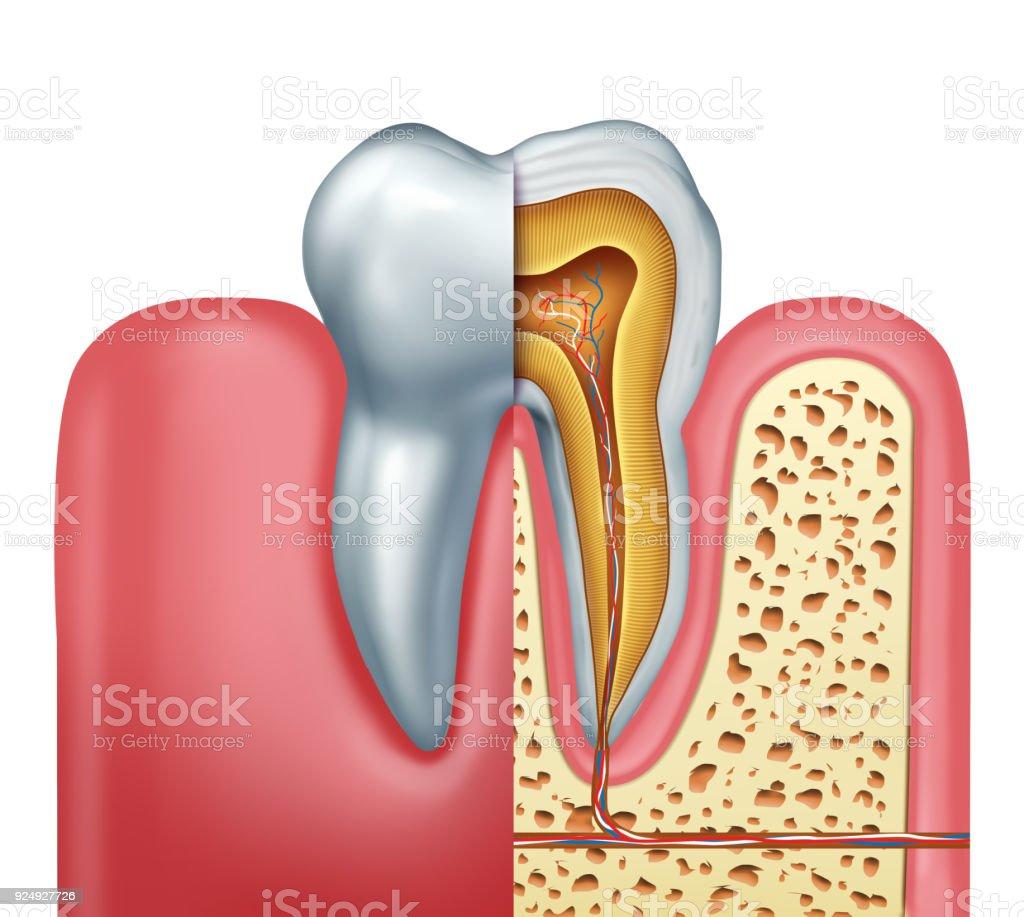Human Tooth Anatomy Concept stock photo