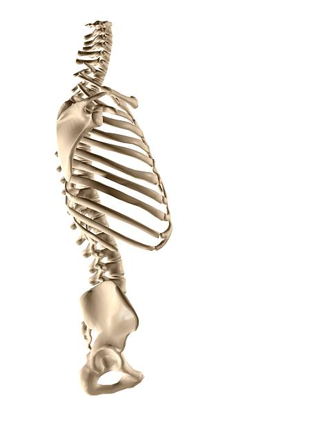 Human torso skeleton human torso skeleton 3d illustration intercostal space stock pictures, royalty-free photos & images