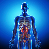istock human urinary system in gray x-ray 461806771