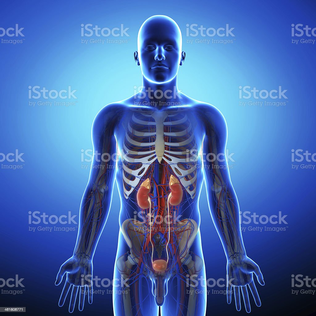 human urinary system in gray x-ray stock photo