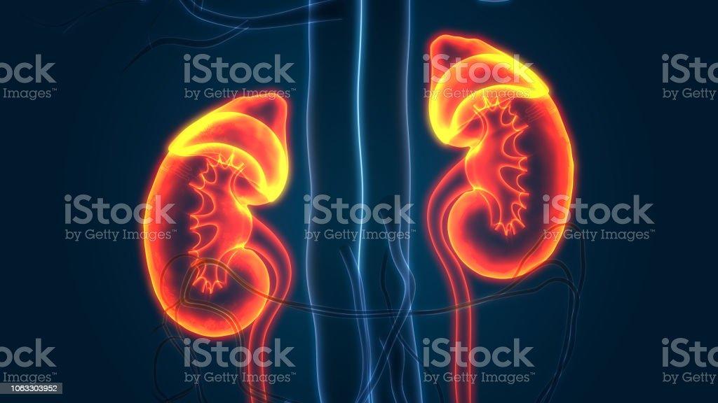 Human Urinary System Kidneys Anatomy stock photo