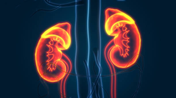 Human Urinary System Kidneys Anatomy 3D Illustration of Human Urinary System Kidneys Anatomy human gland stock pictures, royalty-free photos & images