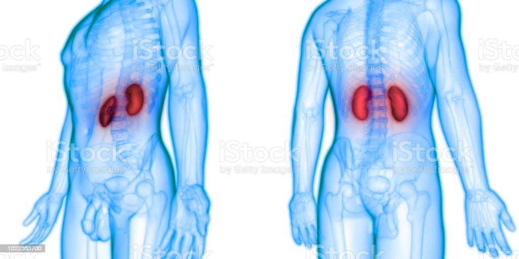 Fotografía de Humano Sistema Urinario Riñones Con Anatomía De La ...