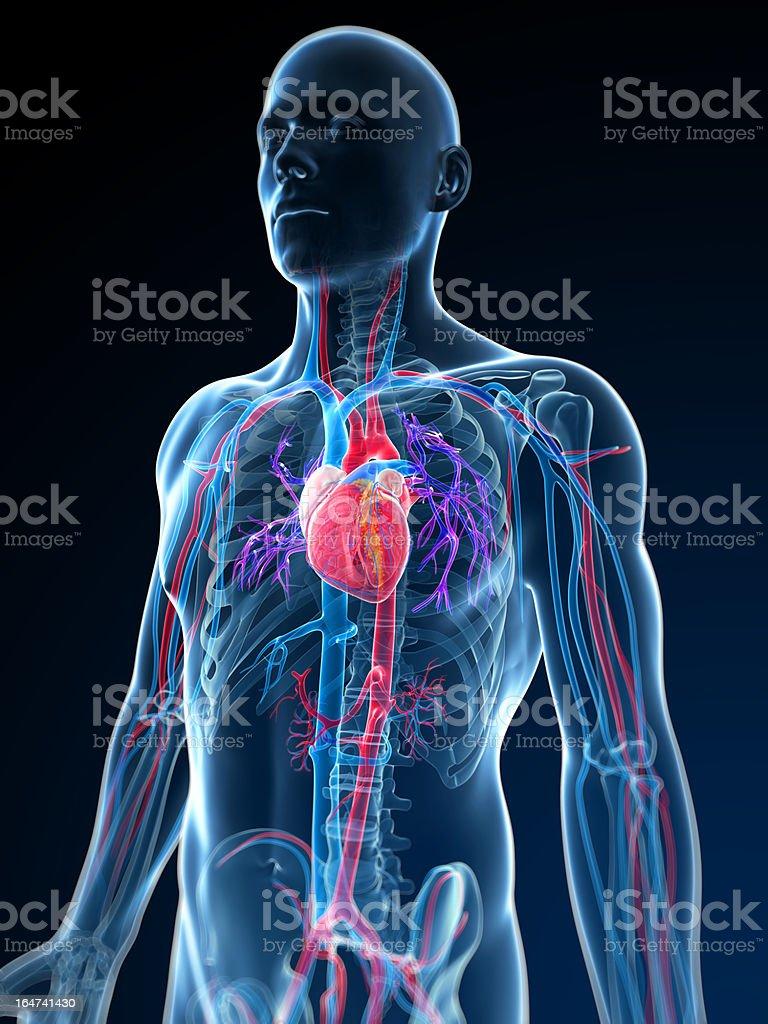 human vascular system stock photo