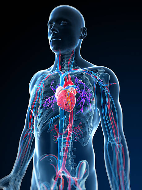 human vascular system - cardiovascular system stock photos and pictures