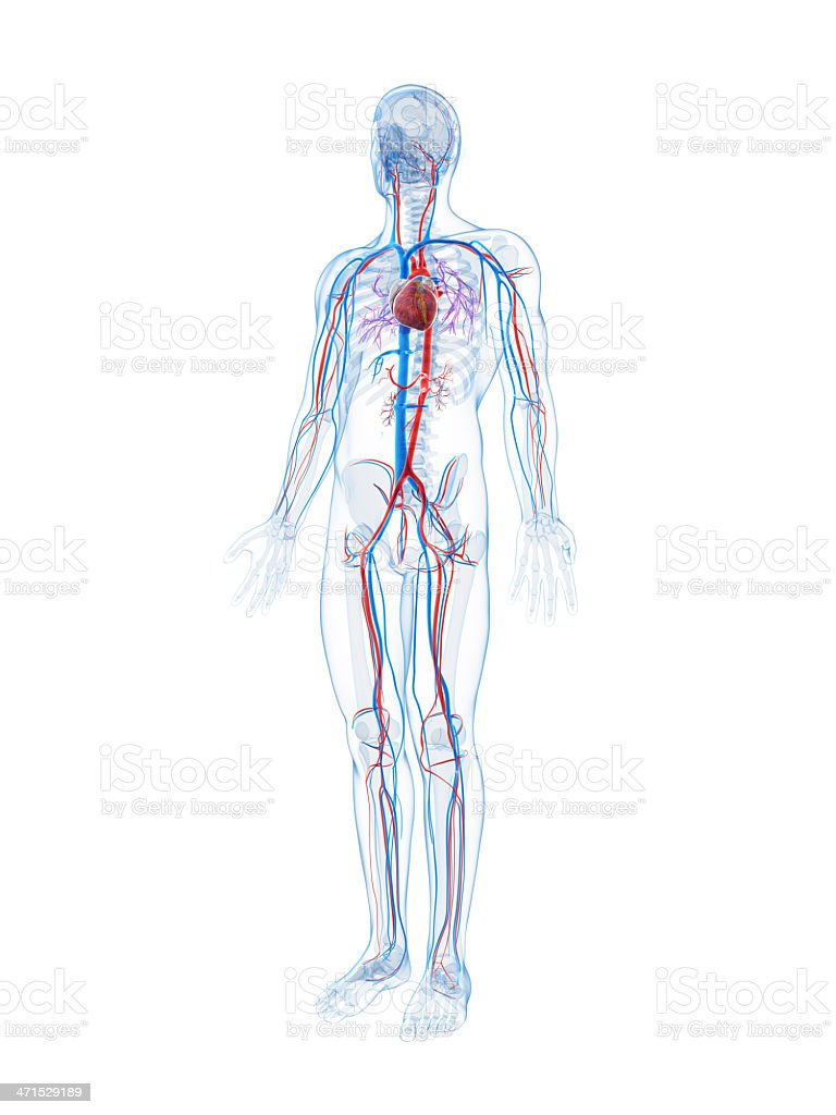 Human Vascular System Stock Photo More Pictures Of Anatomy Istock