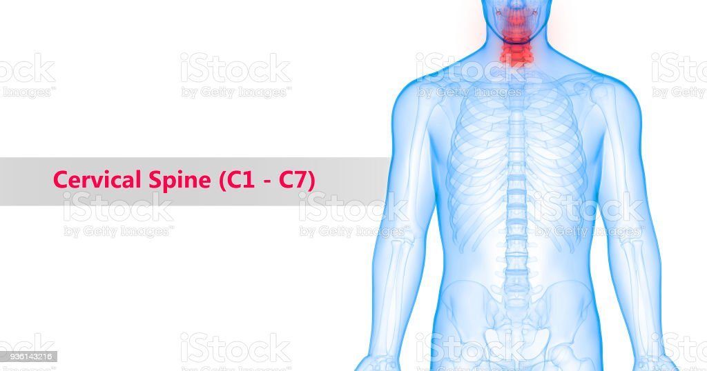 Human Vertebral Column Cervical Spine Anatomy Stock Photo More