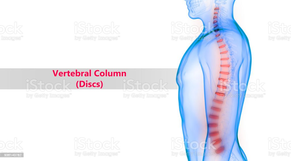 Human Vertebral Column Discs Anatomy Stock Photo More Pictures Of