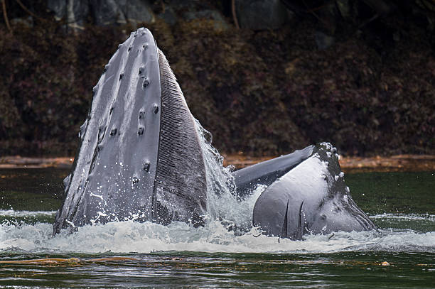 Humback Whale Lunge Feeding, BC stock photo
