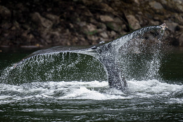 Humback Whales Tail, BC stock photo