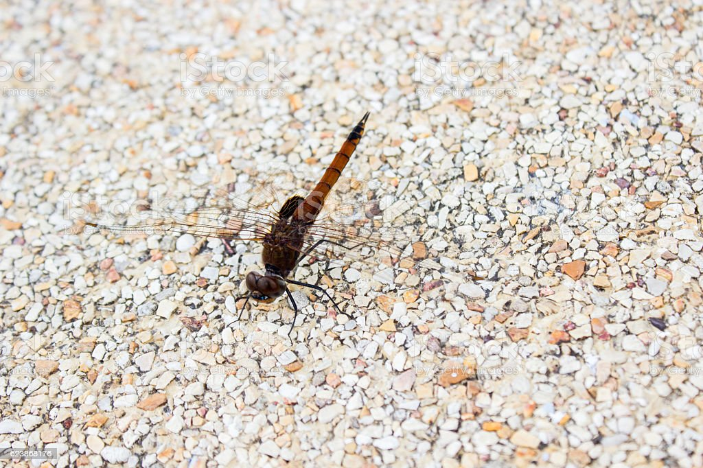 Humble dragonfly on the footpath bricks, macro photography on na stock photo