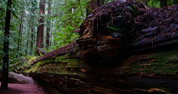 Humboldt County Fallen Redwood
