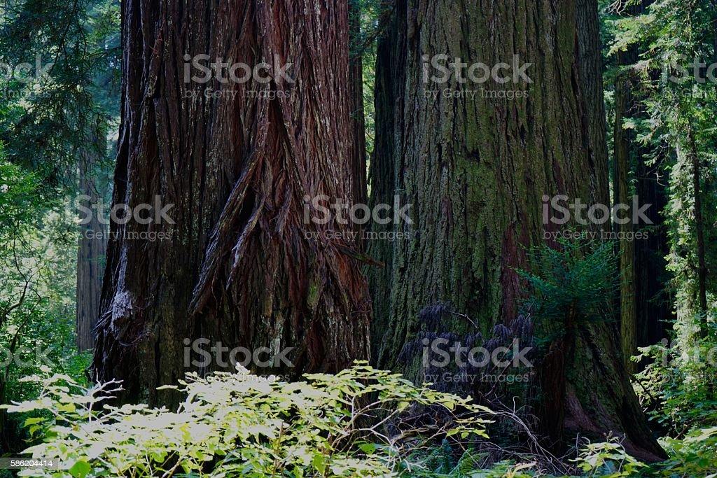 Humboldt County Redwoods stock photo