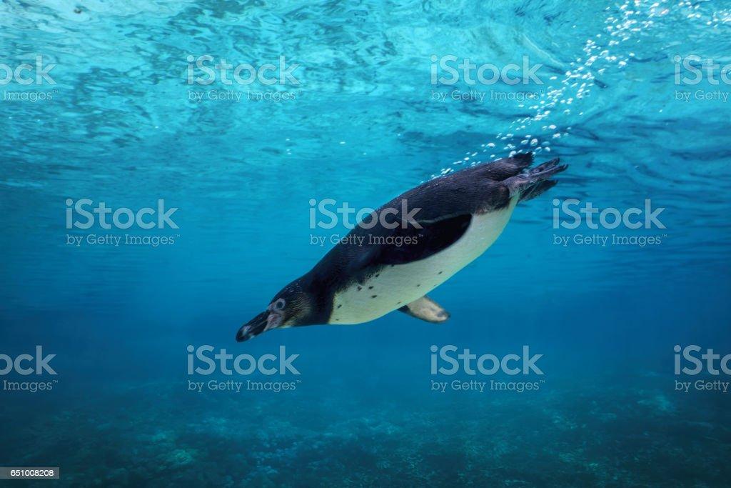 Humboldt penguin diving underwater. stock photo